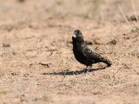 Zwarte leeuweriken zijn elke vogelaar uit Europa wel bekend. © Machiel Valkenburg