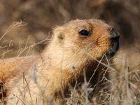 Bobak marmotten komen veel voor op de steppe. © Machiel Valkenburg