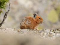Een rode fluithaas, nauw verwant aan de konijnachtigen. © Machiel Valkenburg