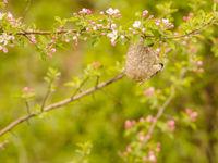 Buidelmezen vinden overal wel plaats om een nestje te bouwen. © Machiel Valkenburg