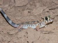 's Nachts komen we met wat geluk mooie reptielen tegen, zoals deze wondergekko. © Machiel Valkenburg
