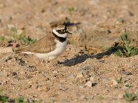 Kleine plevieren komen hier nog in hoge aantallen voor. © Machiel Valkenburg