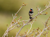 Het zuidelijke neefje van de roodkeelnachtegaal, de Himalayazwartborstnachtegaal, staat zeker op het programma. © Machiel Valkenburg