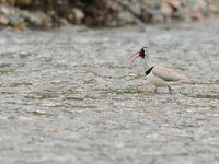 De ibissnavel is een unieke steltloper en staat helemaal alleen in z'n familie! © Machiel Valkenburg