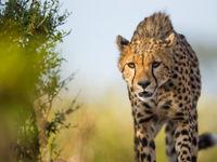 Een cheetah zoekt hongerig naar een prooi. © Billy Herman