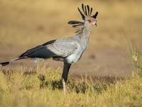 Een secretarisvogel in vol ornaat. © Billy Herman