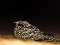 Een nachtzwaluw laat zich goed benaderen. © Billy Herman
