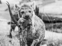 Wanneer hyena's de buit van een luipaard stelen kun je rauwe beelden maken van de natuur. © Siska Meersman