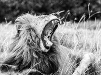 Om een geeuwende leeuw te fotograferen moet je soms snel zijn. © Siska Meersman