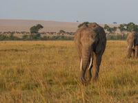 Een gigantische kudde buffels op de achtergrond met twee olifanten. © Siska Meersman