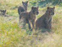 Jonge leeuwen in het bedauwd gras. © Siska Meersman