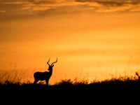 Het silhouet van een impala tegen een oranje lucht is een droombeeld. © Siska Meersman