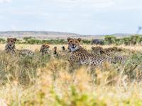 Een laag standpunt met een breedhoek zorgt ervoor dat je een uniek beeld kan maken. Een familie cheetahs in de savanne. © Billy Herman
