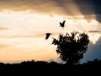 Secretarisvogels vliegen op bij zonsondergang om te gaan slapen. © Siska Meersman