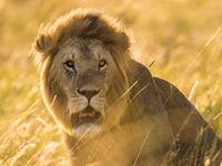 The golden hour is een fantastisch moment om een groep leeuwen te volgen. © Billy Herman