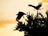 Secretarisvogels vliegen op. © Billy Herman