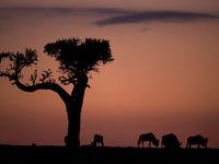 Indrukwekkende boom op de savanne met grazende gnoes. © Billy Herman