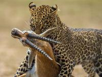 Wanneer een luipaard zijn prooi in veiligheid probeert te brengen enkele meters voor je lens, gaat je hart sneller kloppen. © Billy Herman