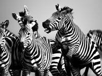 Vechtende zebra's! © Billy Herman