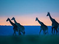 Giraffen zijn de meest bizarre verschijningen van de savanne. © Billy Herman