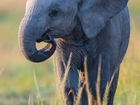 Ook Dumbo loopt rond op de savanne. © Billy Herman