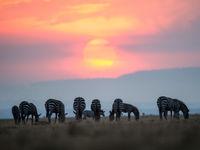 Grazende zebra's bij zonsondergang. © Billy Herman