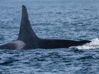 Een volwassen mannetje orka poseert voor de lens tijdens onze grizzly-prospectie. © Joachim Bertrands