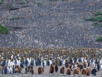 Een helling vol koningspinguïns. © Oceanwide Expeditions / STARLING reizen