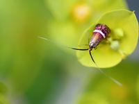 Adelidae aux couleurs incroyables © Jonathan Lhoir