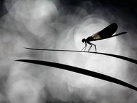 Caloptéryx en noir et blanc © Jonathan Lhoir