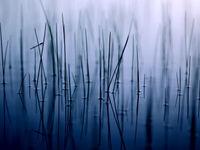 Agrion dans les joncs © Jonathan Lhoir