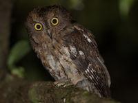 Madagascar Scops-owl, un autre oiseau endémique. © Billy Herman