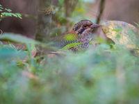 Le Scaly Ground-roller fait partie des targets principales durant tout voyage à Madagascar. © Billy Herman