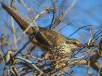 Le Subdesert Mesite est un oiseau très particulier, rappelant les Thrasher d'Amérique du Nord. © Billy Herman