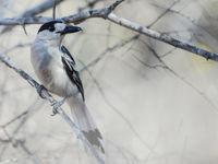 Le Hook-billed Vanga possède des airs de pie-grièche. © Billy Herman
