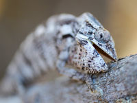 Proximité avec ce caméléon. © Billy Herman