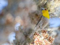 Ce Sakalava Weaver collecte du matériel pour son nid © Billy Herman