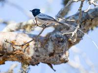 La queue du Madagascar Paradise Flycatcher est au-moins deux fois aussi longue que l'oiseau lui-même. © Billy Herman