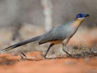 Ce Running Coua scrute le sol de la forêt à la recherche de lézards. © Billy Herman