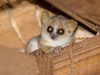 Les plus petites espèces ressemblent souvent à des souris, mais restent de vrais primates. © Billy Herman