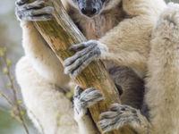 Le regard curieux des lémuriens est très agréable à observer. © Billy Herman