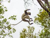 Un lémurien en pleine action. © Billy Herman