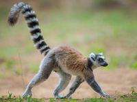 Un Ring-tailed Lemur traverse le chemin. © Billy Herman