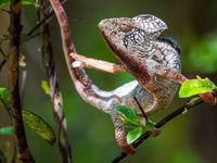 Les changements de couleurs réalisés par certains caméléons sont réellement impressionants. © Billy Herman