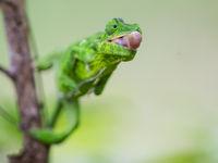 Ce caméléon se prépare à faire feu. © Billy Herman