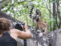 Annelies en plein shooting des Ring-tailed Lemurs. © Billy Herman