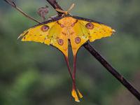 La famile des Saturnidae est réputée pour ses papillons nocturnes magnifiques et défiant toute imagination. © Billy Herman
