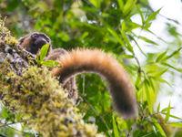 Ce lémurien garde un oeil sur les environs. © Billy Herman