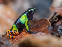 Barron's Mantella, l'une des espèces les plus toxiques de Madagascar! © Billy Herman
