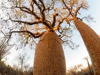Photographier les baobabs avec le fisheye donne des images uniques. © Billy Herman